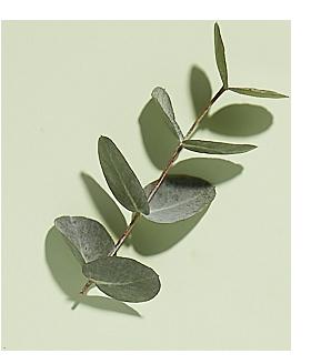 Organik okaliptus